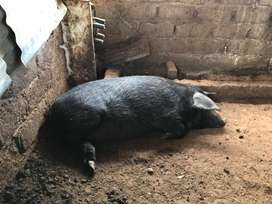 Pig for sale