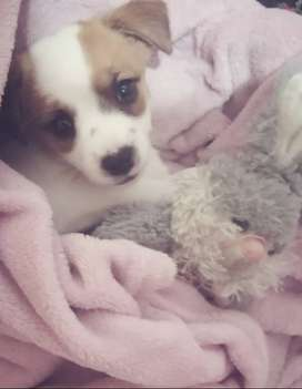 Jack russell puppy for sale R 1500