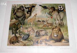 Zwierzęta Afrykańskie, Arktyczne oryginalne XIX w. grafiki