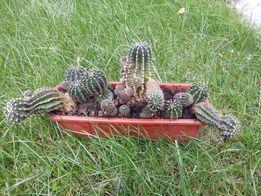 Многолетнее милое семейство кактусов