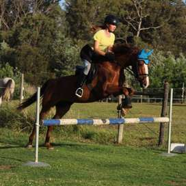 Showjumper for sale with tack