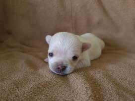 Beautifull Tiny MALE Chihuahua puppy for sale
