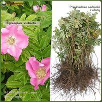 Róża pomarszczona - sadzonki 20-40 cm - Wysyłamy kurierem