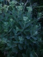 Продам очиток садовый заячью капусту