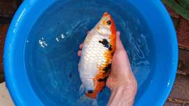 10 Healthy Mixed Variety Koi's