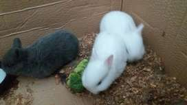 One grey rabit im selling and 2 white ones