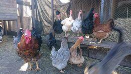 Инкубационное яйцо домашних пород мясо-яичных кур.Куриное яйцо племя
