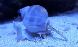 Nassarius sp akwarystyka morska ślimak