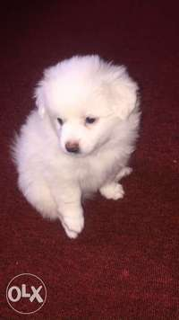 Japanesse Spritz Puppies for sale!! 0