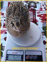 Яйца инкубационные перепела Феникс Золотистый - (линия Франции).