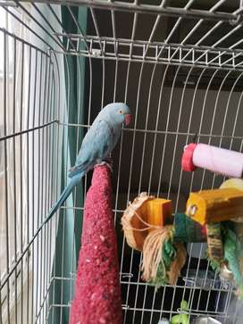 Bird for sale 2 years old female