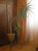 Пальма драцена