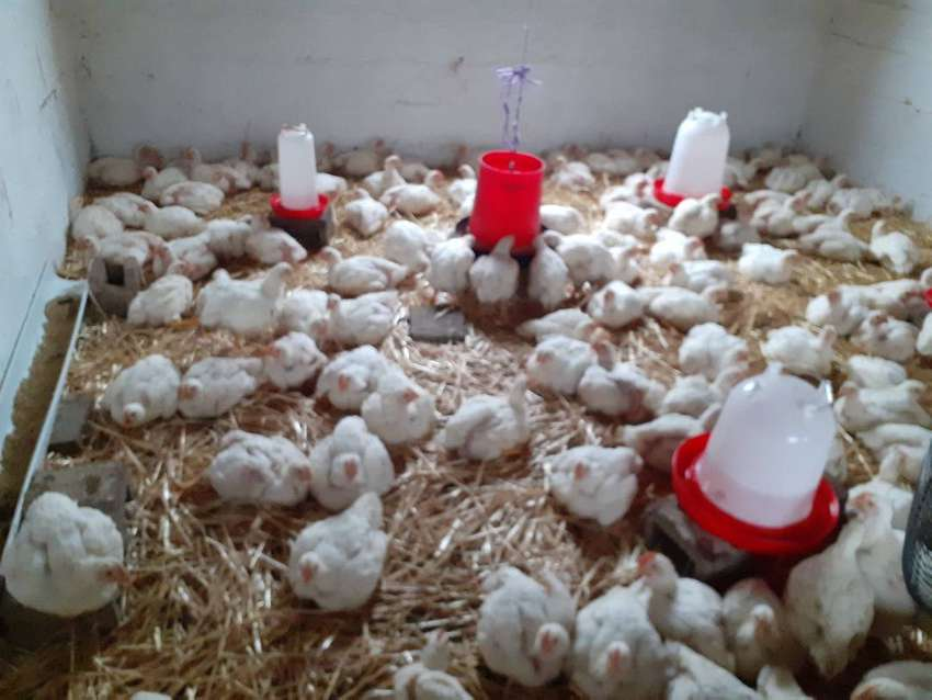 Broiler chickens for sale 0
