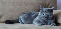 Вязка Британский кот (Британец). Уши - страйт. Ждёт девочек