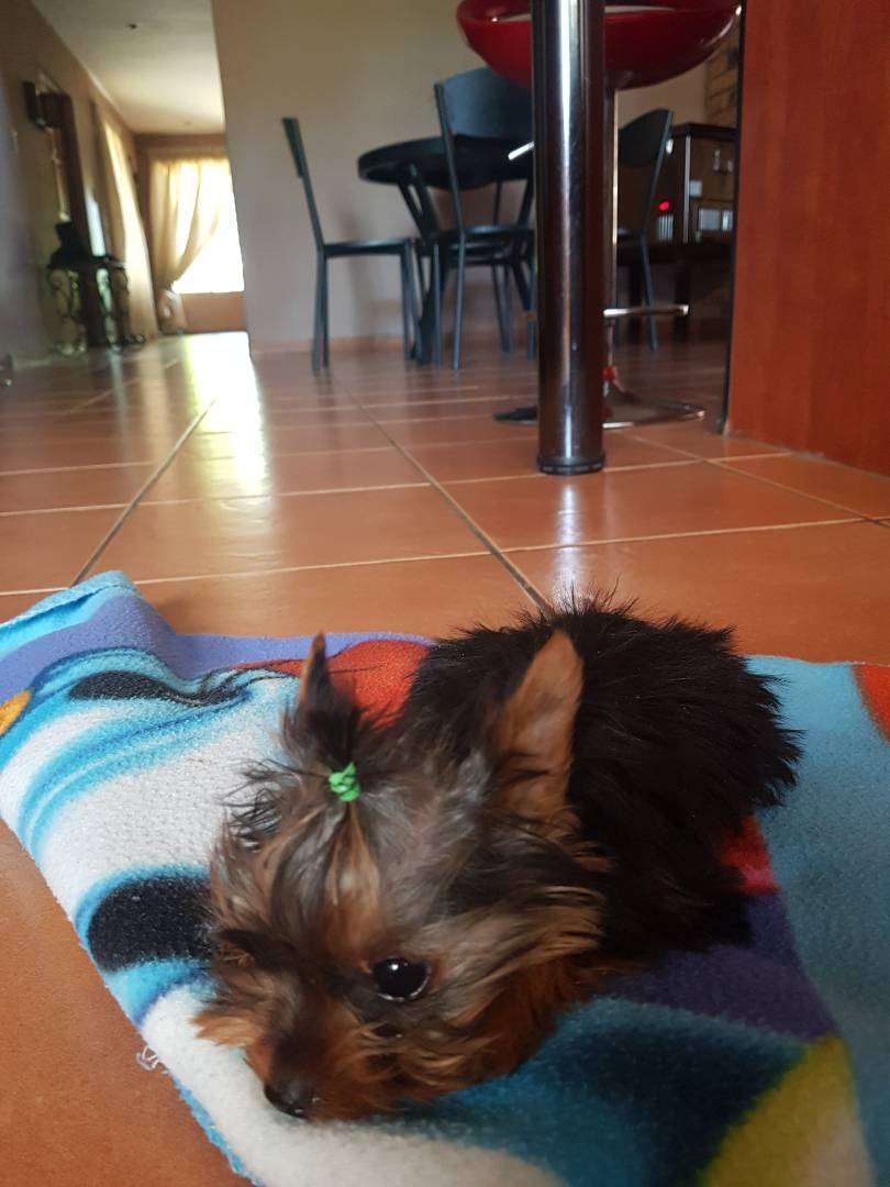 Dog yorkie black and tan 3 m 0