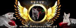Kocięta Rosyjskie Niebieskie -duża wyprawka-Rodowód -rekomendacja SHK