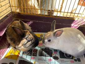 2 male bunnies and cage