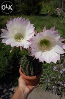 отростки цветущего кактуса
