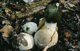 Мицелий Веселки обыкновенной - настоящий, здоровый, всхожий! Высылаю!