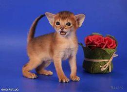 Абиссинские котята - американский тип!