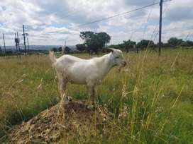 Pure White Young Ram(Male) Goats For Sale
