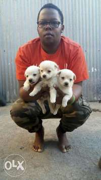japanese spitz puppies 0