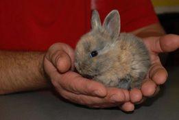 Декоративный мини кролик - голландский карлик весом до 1кг