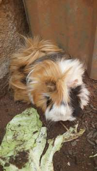 Image of Peruvian guinea pigs x 8 all beautifu baby is ready to go to New Homes