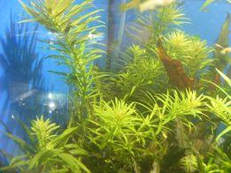 GB limnophilia aromatica roślina akwariowa
