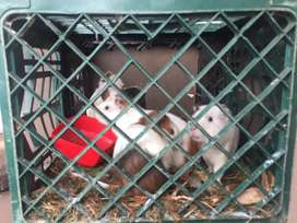 I am selling 5 gunea pigs and whith a home made cage