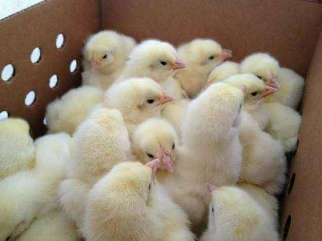 Ross 308 Day old chicks