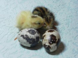 Продам инкубационное яйцо перепела!