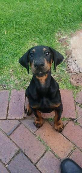 Looking for female Doberman puppy