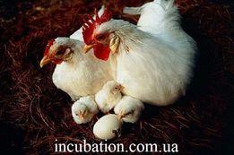 Инкубационное яйцо Хайсекс Вайт белый