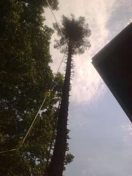 Tree felling and trimming