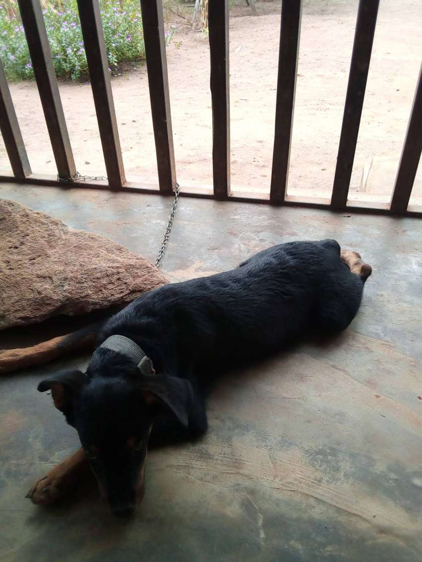 4month Rottweiler for sale 0