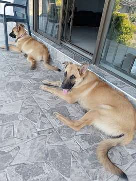 Cross German shepherd puppies for sale