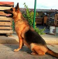 Image of Pregnant female gsd