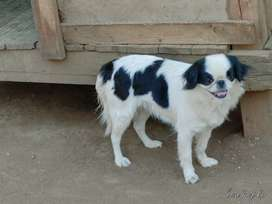 Female Japanese chin and male  Pekignese