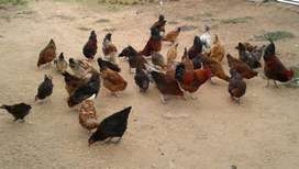 Live chickens, hard body and fresh eggs for sale.Izinkhukhu for sale