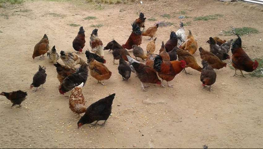 Live chickens, hard body and fresh eggs for sale.Izinkhukhu for sale 0