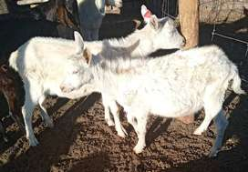 Full white goats available for you
