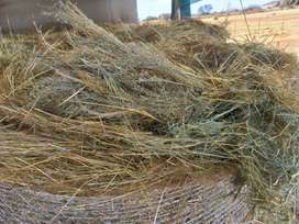 Big round bales full seed tef for sale