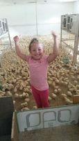 Суппер предложение, недельные цыплята, курчата по 20 грн