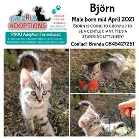 Kittens to adopt in Pretoria from CatzRus, a registered rescue group.