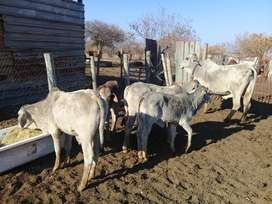 Brahman bull calves and a heifer