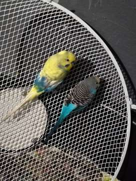 Budgie pair for sale