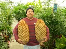 Seeds for Sale of Cycad