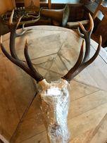 Poroże jelenia z czaszka