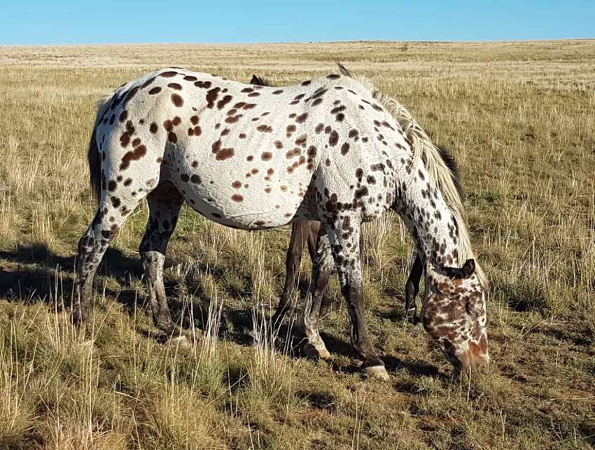 Registered Appaloosa Mare 0